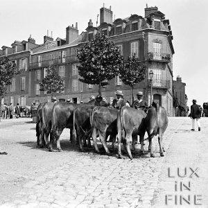 Les sept vaches / Marché aux bestiaux, Limoges, 1900